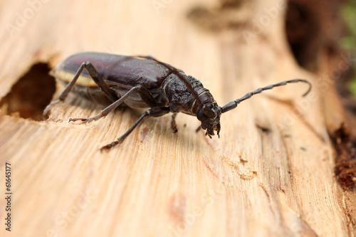 Fotografie, Obraz  Insecte capricorne sur bois de chêne