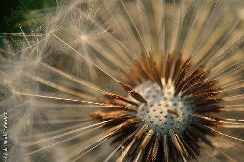 Detail view of bald dandelion