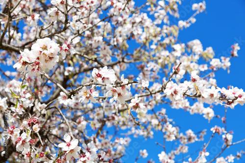 Almond tree Fototapeta