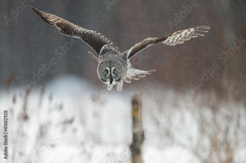 Photo Great Grey Owl (Strix nebulosa) hunting in the falling snow