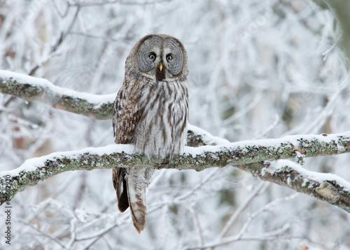 Great Grey Owl (Strix nebulosa) perched in a tree Fototapeta