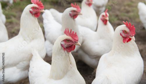 Keuken foto achterwand Kip White chicken