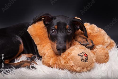 Cuadros en Lienzo Dobermann Welpe mit Teddybär