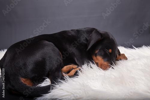 Deurstickers Ontspanning Dobermannwelpe schläft