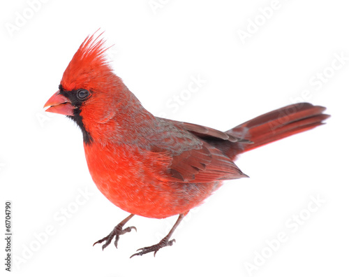 Canvas Print Cardinal Isolated