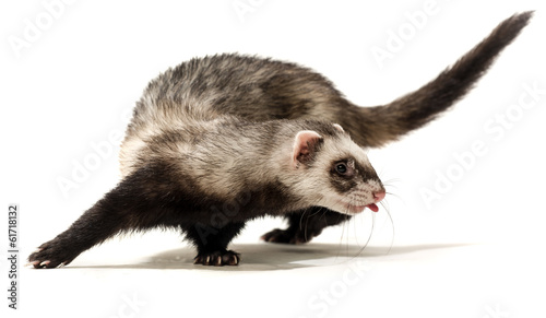 Vászonkép  Polecat on a white background