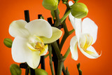 Beautiful light yellow orchid flowers with buds