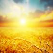 golden harvest in sunset