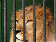 Lion In The Cage