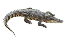 Wildlife Crocodile Isolated On...