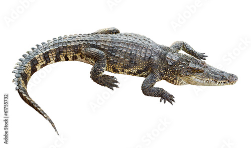 Foto op Canvas Krokodil Wildlife crocodile isolated on white with clipping path