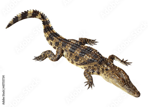 Poster Crocodile Wildlife crocodile isolated on white with clipping path