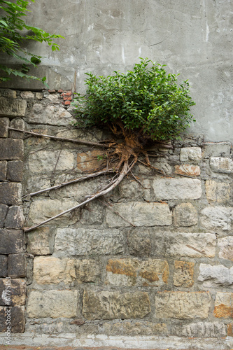 Photo  Lone bush with long and strong roots growing at a wall