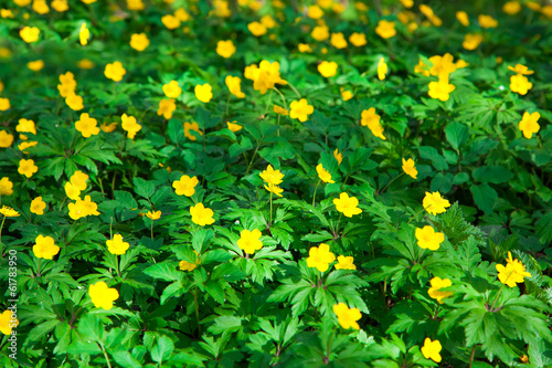 Fotografija  yellow buttercup flower the spring (Potentilla recta)