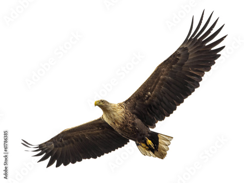 Fotobehang Eagle Huge eagle in flight isolated on white