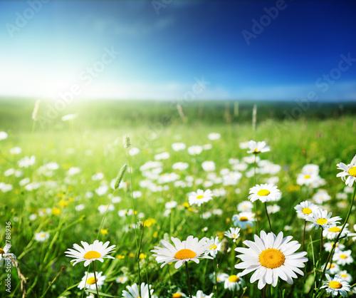 Poster Fleuriste field of daisy flowers