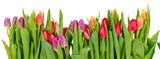 Fototapeta Tulipany - Row of tulips