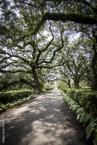 Photo  Plantation Oak - Louisiana