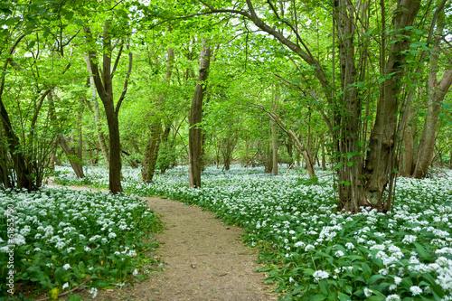Fotobehang Bossen Wild Garlic Growing in Woodland