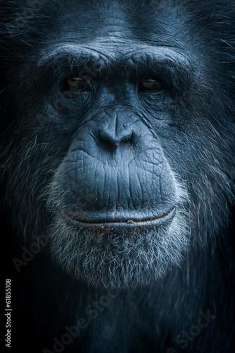 Poster Singe Portrait de singe chimpanzé