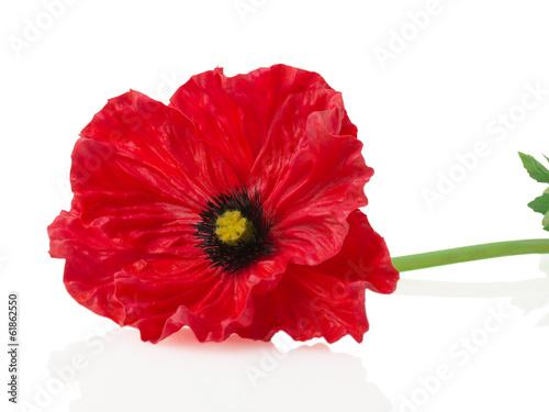 Poster Poppy Red poppy on a white background
