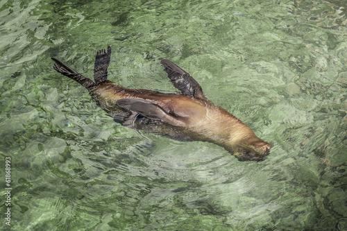 Fotografie, Obraz  leone marino galapagos