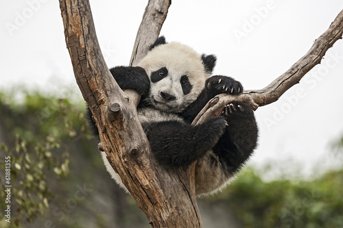 Giant Baby Panda Hanging on a Tree Canvas Print
