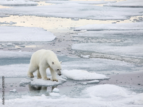 Poster Ijsbeer Polar bear in natural environment