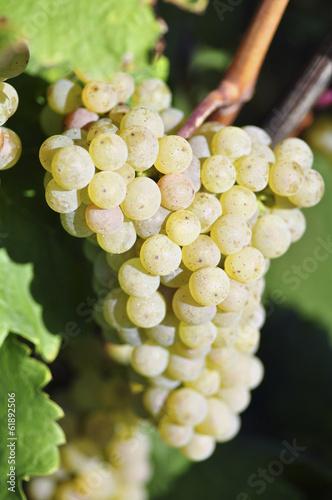Fotografie, Obraz  Overripe grapes on old vines