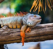 Orange Iguana With  Close Up I...