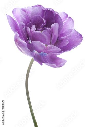 Photo  tulip