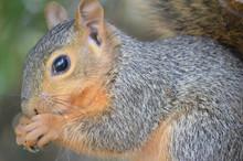 Squirrel Holding A Peanut