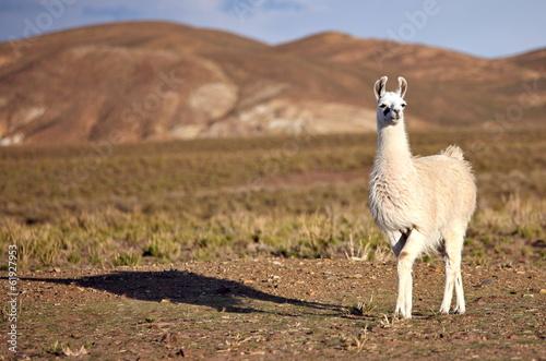 Staande foto Lama South American Llama