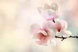 Fototapeta Fototapeta w kwiaty na ścianę - magnolia
