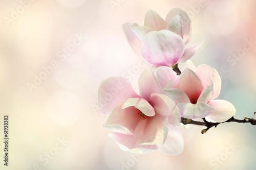 Foto op Canvas Magnolia magnolia