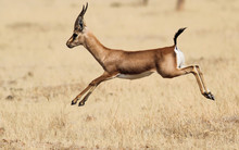 Indian Gazelle (Chinkara)