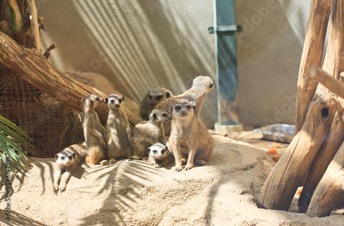 Fotografie, Obraz Surikaty. Vienna Zoo. Austria