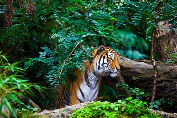Fototapeta Nowoczesny Tiger