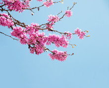 Spring Flowers (Cercis Siliqua...