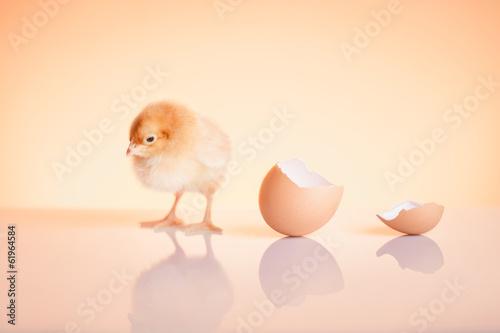 Fotografie, Obraz  Close up of sweet newborn chicken