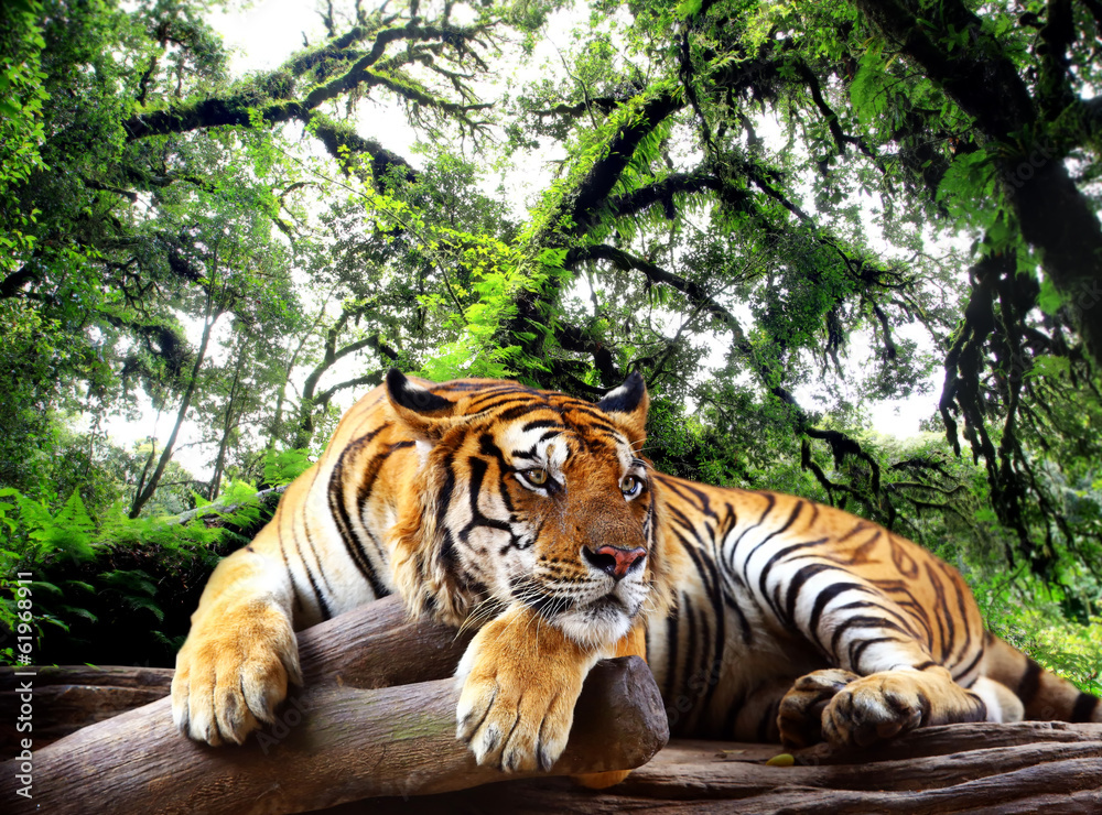 Fototapeta Tiger looking something on the rock in tropical evergreen forest
