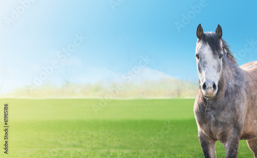 Fototapety, obrazy: gray horse on background green spring pastures, blue sky, banner