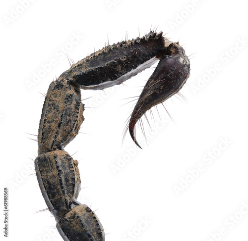 Close up of scorpion tail isolated on white background