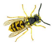 European Paper Wasp Vespula Ge...