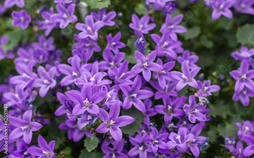 Closeup of Campanula plants purple flowering in the garden