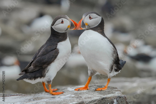 Photo Two atlantic puffins in love