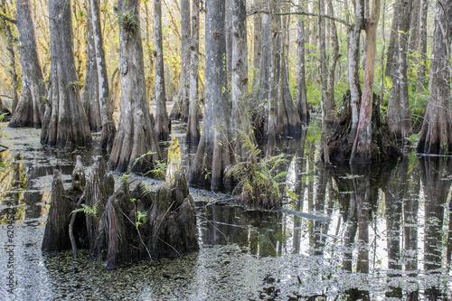 Fotografie, Obraz  Swamp Stump At Slough Preserve