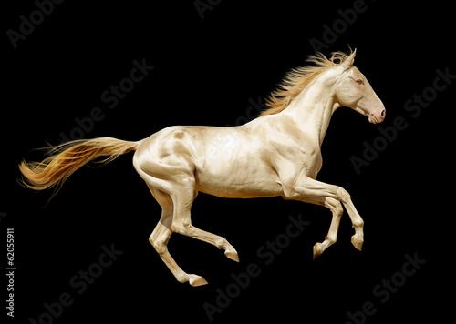 Photo  perlino akhal-teke horse isolated on black