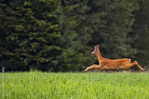 Crédence de cuisine en verre imprimé Roe Buck deer on the run