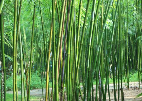 Papiers peints Bambou bamboo trees